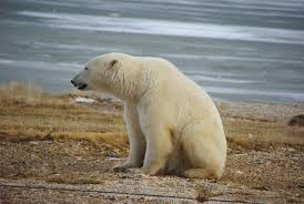 Polar Bear Sitting | Just outside of Churchill Manitoba Cana ...